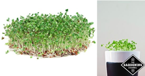 growing sprouts