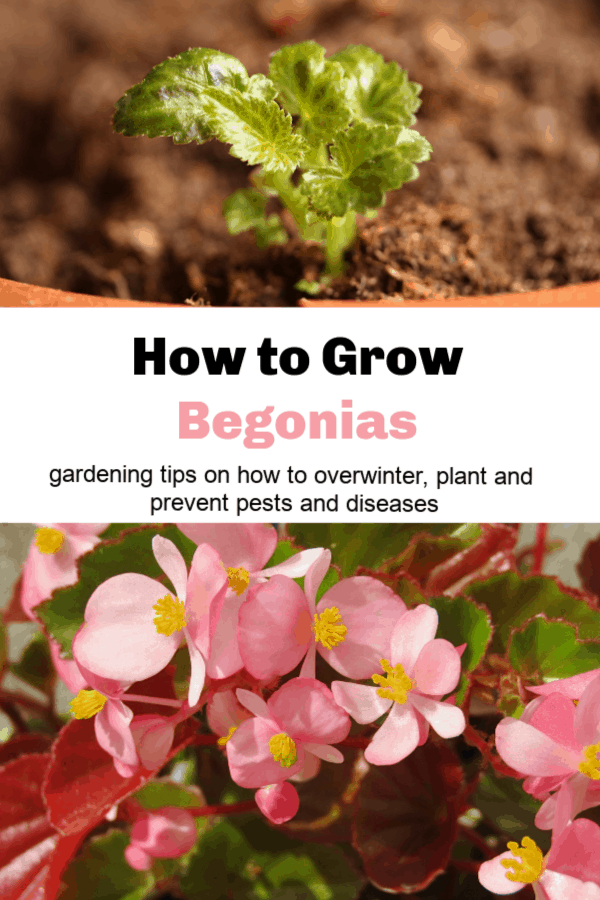 begonia emerging from soil and pink begonia flowers with text overlay how to grow begonias gardening tips on how to overwinter, plant and prevent pests and diseases