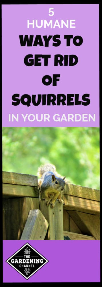 squirrel climbing over fence into yard with text overlay five humane ways to get rid of squirrels in your garden