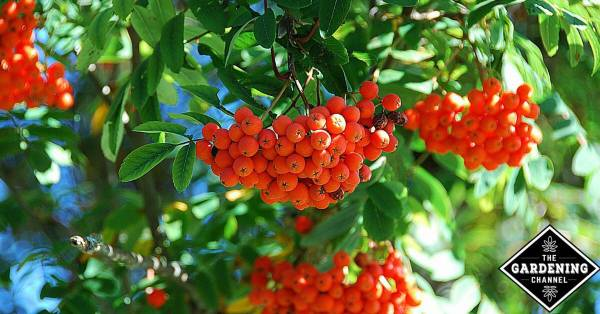 How to grow a rowan tree