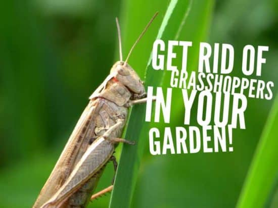 howto get rid of grasshoppers in the garden