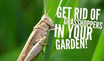 How to Get Rid of Grasshoppers in the Garden