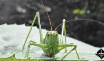 grasshopper damage in garden