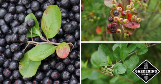 Accept. edible berries that mature in september absolutely