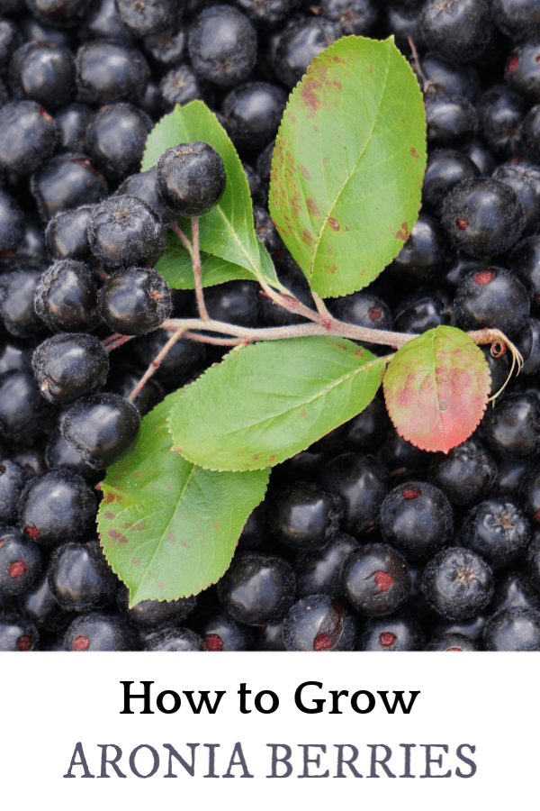 harvested chokeberries with text overlay how to grow aronia berries