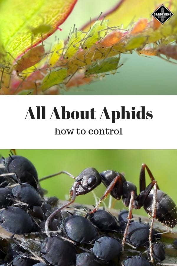 aphids on stem and ant with aphids with text overlay