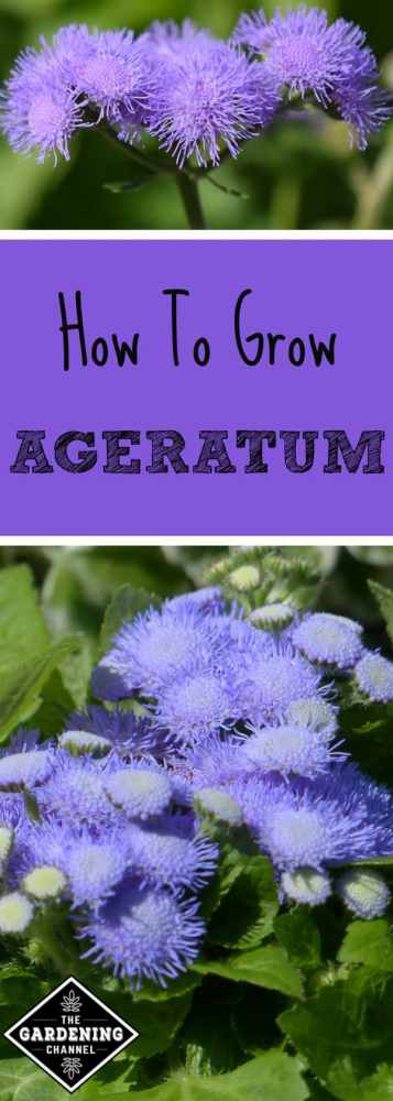 close up ageratum flower and ageratum plant with text overlay how to grow ageratum
