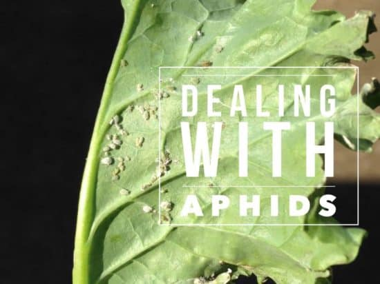 how to get rid of aphids garden