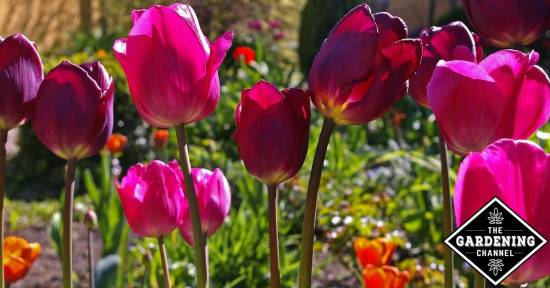 Hoe to Grow Tulips so They Keep Coming Back