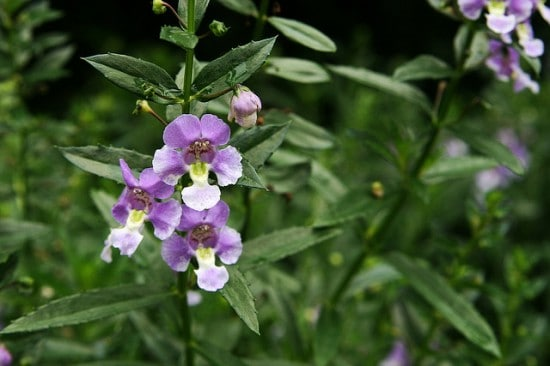 How To Grow Angelonia Gardening Channel