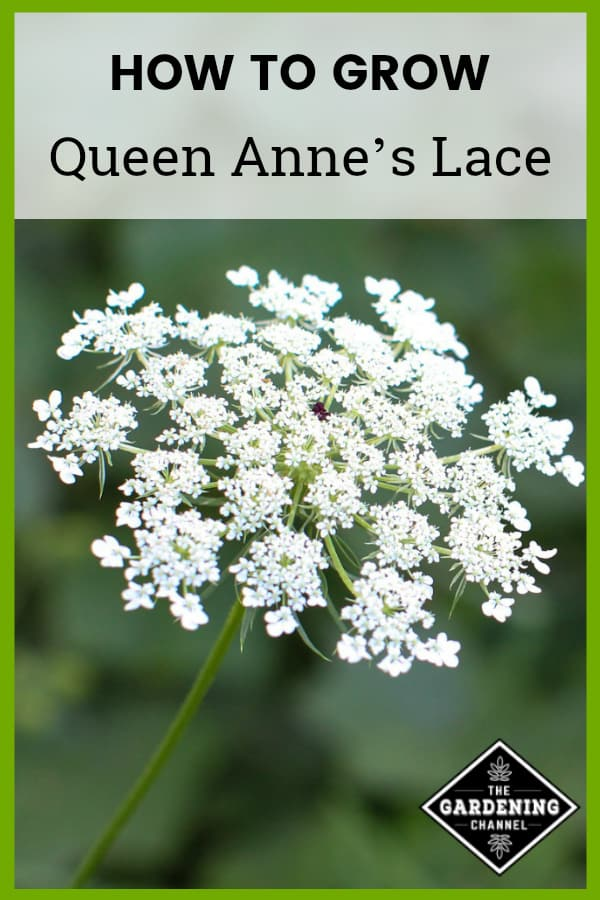 queen annes lace in yard with text overlay how to grow queen annes lace