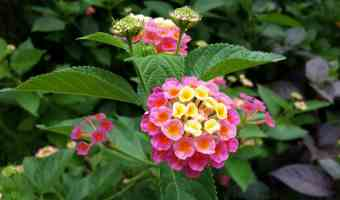 lantana flowers growing