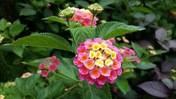 lantana flowers growing