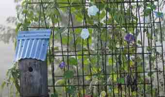 How to Grow Morning Glory