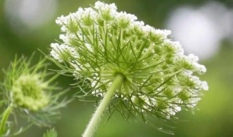 How to Grow Queen Anne's Lace