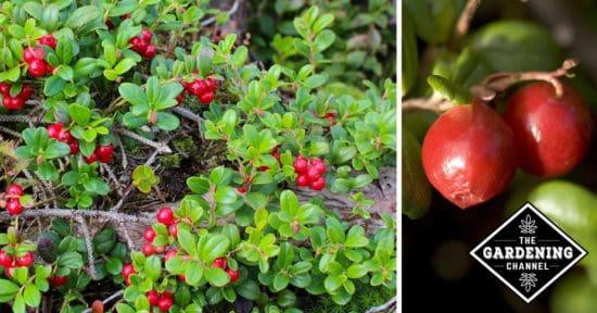 Growing Ligonberry Bushes