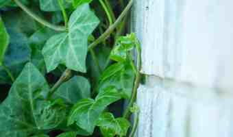 How to Get Rid of Invasive English Ivy