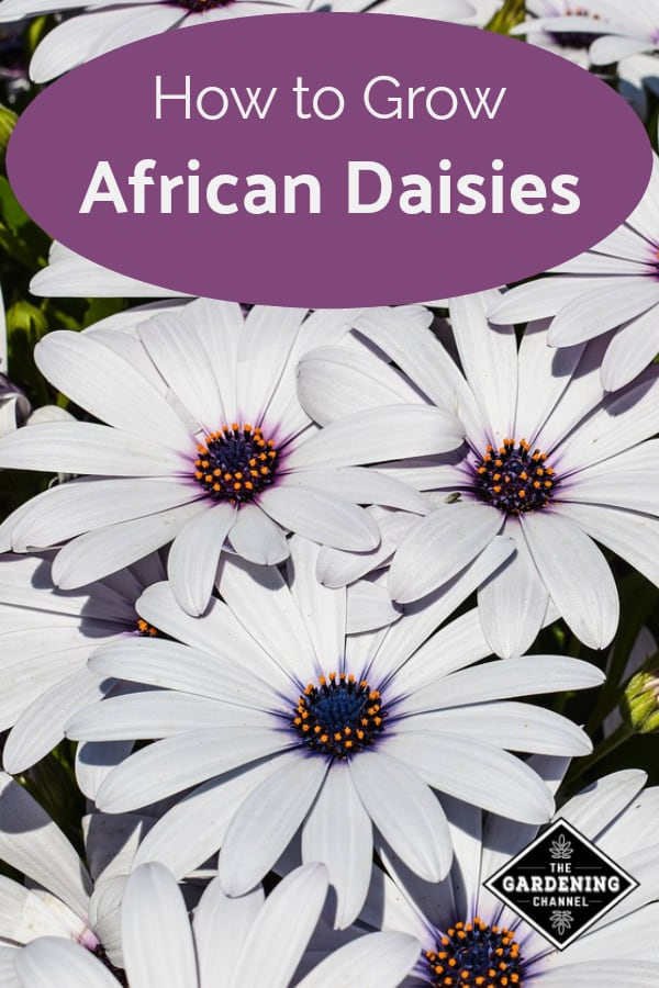 white african daisies with text overlay how to grow african daisies