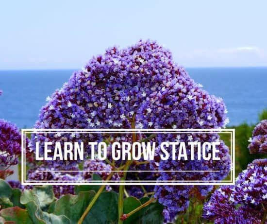 How to Grow Statice   Gardening Channel grow statice flowers