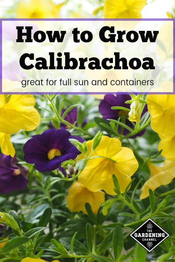 yellow and purple calibrachoa with text overlay how to grow calibrachoa great for full sun and containers