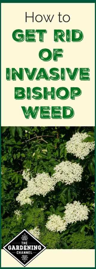 How To Get Rid Of Invasive Bishop Weed Goutweed Gardening Channel