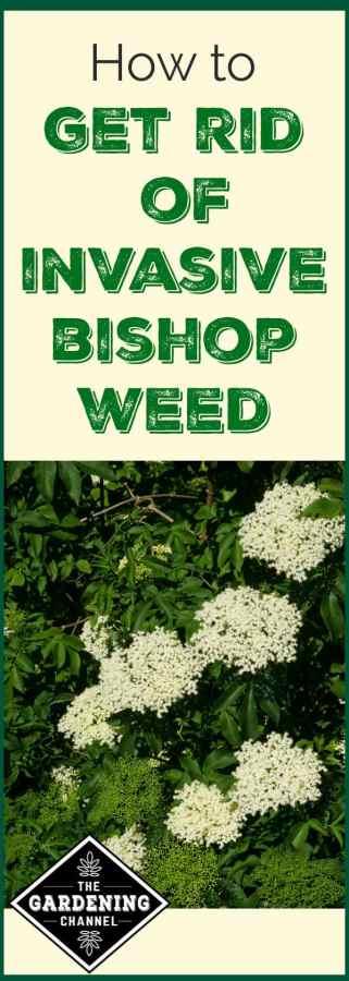 getting rid of bishop weed