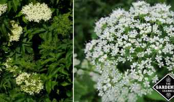 invasive bishop weed