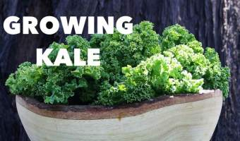 How to Grow Kale: Including Three Favorite Ways to Prepare Kale