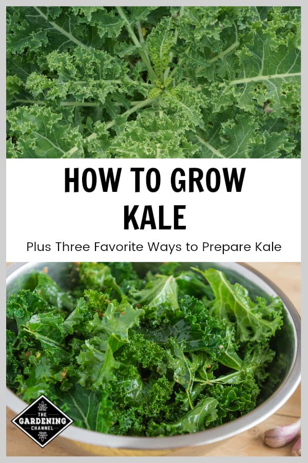 kale in garden and cut kale for kale chips with text overlay how to grow kale plus three favorite ways to prepare kale