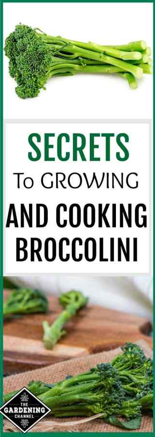 growing and preparing broccolini