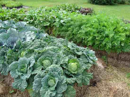 straw bale cabbage growing