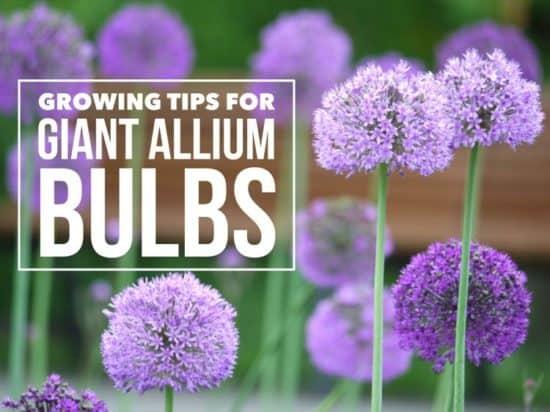 Growing Fun Flowers: Giant Allium Bulbs
