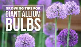 Growing Fun Flowers: Giant Allium Bulbs