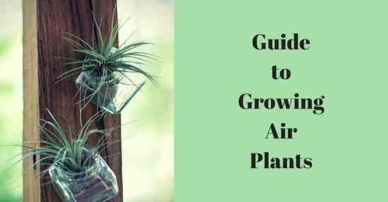 guide to growing air plants