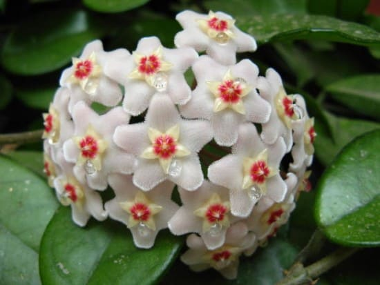 How To Grow Hoya Wax Plant Gardening Channel