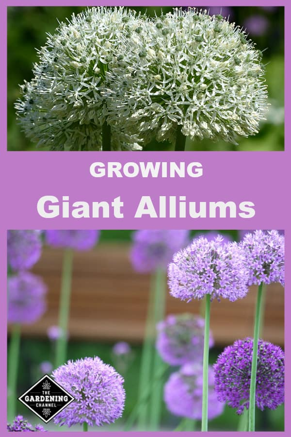 white giant allium and purple with text overlay growing giant alliums