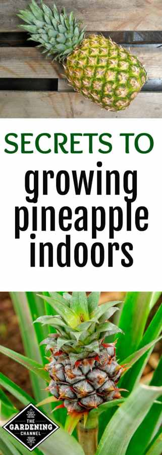 how to grow pineapple indoors