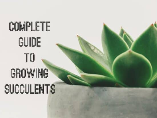 Guide to Growing Succulents as Houseplants