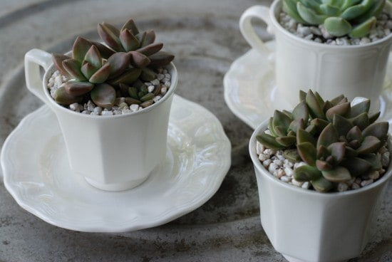 How to Grow Succulents as Houseplants