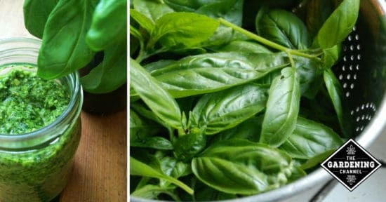 The complete guide to making fresh garden pesto gardening channel guide to making pesto forumfinder Image collections