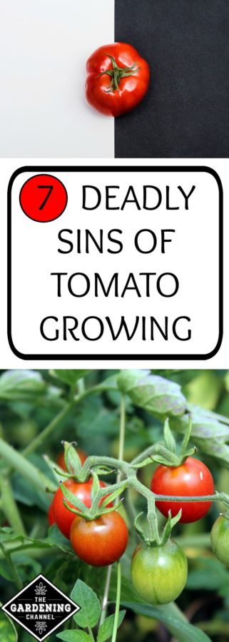 7 deadly sins of tomato growing