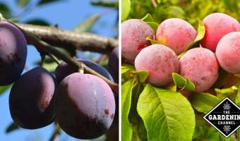 How to Grow Plums