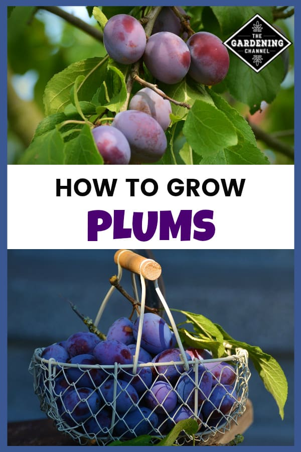 plum tree and harvested plums with text overlay how to grow plums