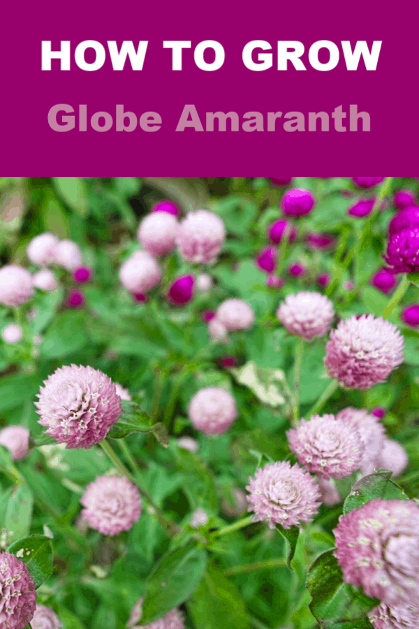 globe amaranth in flowerbed with text overlay how to grow globe amaranth