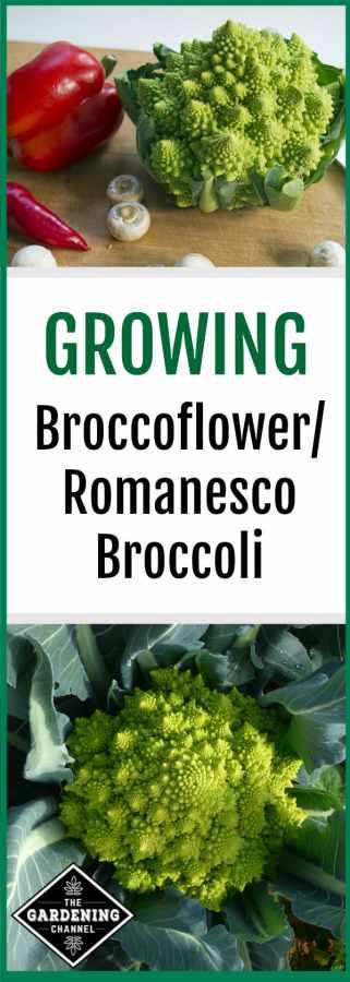 how to grow broccoli alternatives