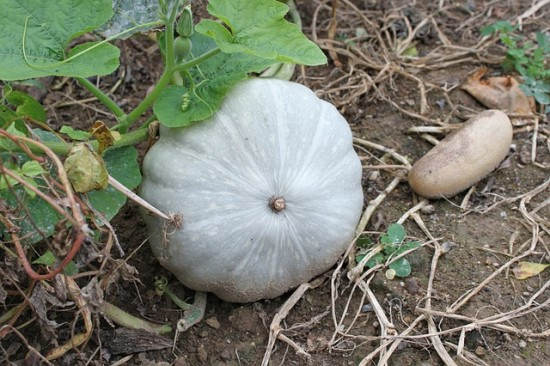 Blue Gray Jarrahdale pumpkins