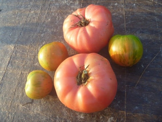 fun heirloom seeds pink brandywine tomato