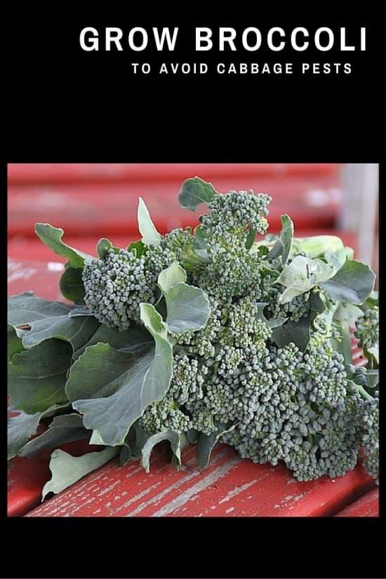 Grow Broccoli for Less Pests