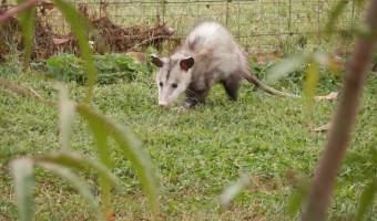 Opossum Helpful to Gardeners