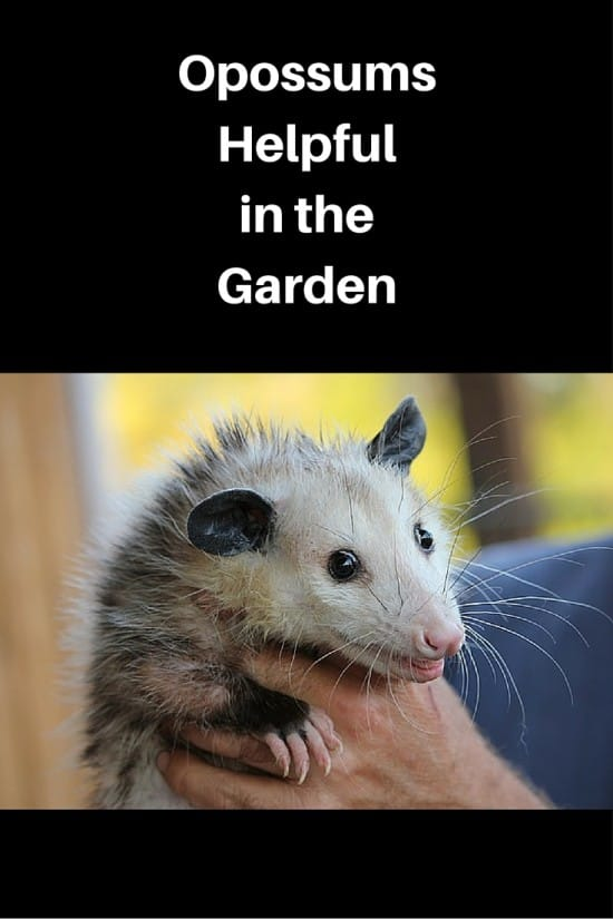 Opossums Natural Pest Control in Garden